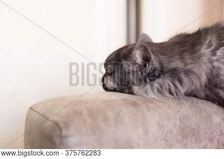 Portrait Of A Long-haired Cat Sleeping On A Sofa.