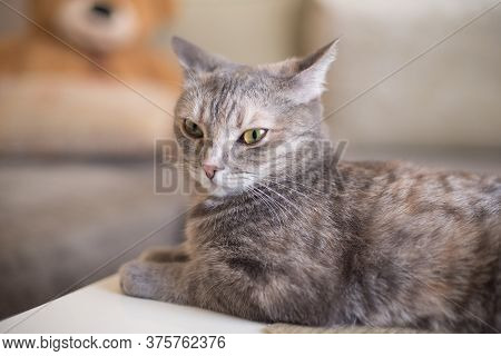 Young Tabby Cat Lying Looking To The Side Isolated On A Sofa Background