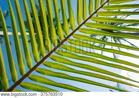 Palm leaf striped background, Green tropical natural lines close-up, Bottom-up view through stripes of palm leaf on blue sky and tops of coconut palms