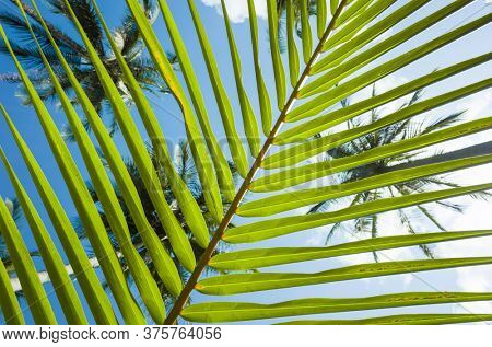 Palm leaf striped background, Green tropical natural lines, Bottom-up view through stripes of palm leaf on blue sky and tops of coconut palms