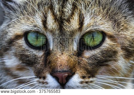 A Cat Portrait. Cat Face Close Up In The Street.. Cats Nose And Eyes, Macro View. Curious Animal Por