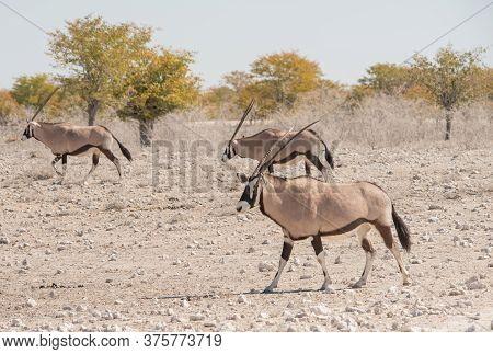 Oryx Antelope In The Etosha National Park Namibia South Africa