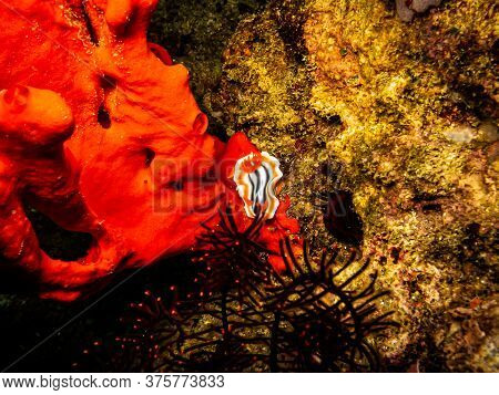 Striped Orange, White And Black Nudibranch Chromodoris Magnifica At A Puerto Galera Reef In The Phil