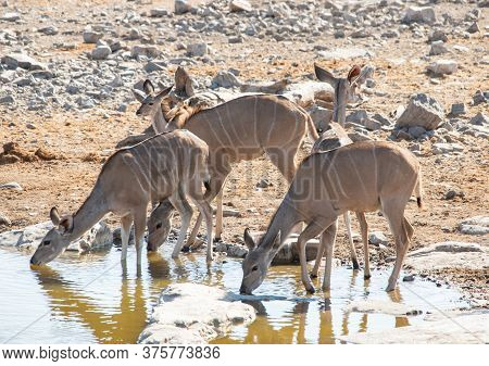 Kudu In The Etosha National Park Namibia South Africa