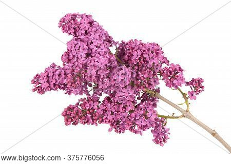 Blossoming Lilac Isolated On White Background. Spring Lilac. Lilac Branch. High Resolution Photo. Fu