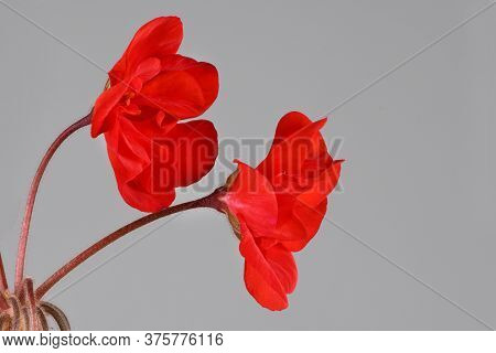 Red Garden Geranium Flowers Isolated On Grey Background. High Resolution Photo. Full Depth Of Field.