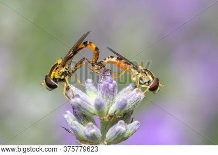 Two Hoverflies  Mating On Lavender 'ashdown Forest' (lavandula Angustifolia)