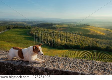 Travel Dog. Jack Russell Terrier Looks At The Landscape In Autumn Tuscany. Vineyards, Fields, Hills