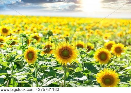 Beautiful , Wonderful Panoramic View Field Of Sunflowers In Summer Time
