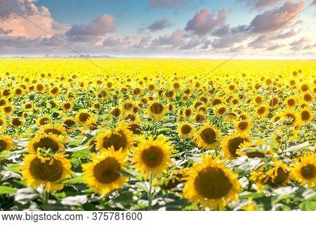 Sunflower Field, Beatiful Flowering Sunflowers, Beautiful Landscape