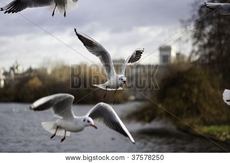 Flock Of Seagulls In Flight