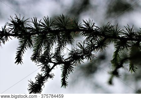 Spruce Needles On The Branch As A Close-up In The Backlight