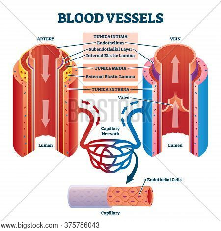 Blood Vessels With Artery And Vein Internal Structure Comparison Vector Illustration. Educational Lu