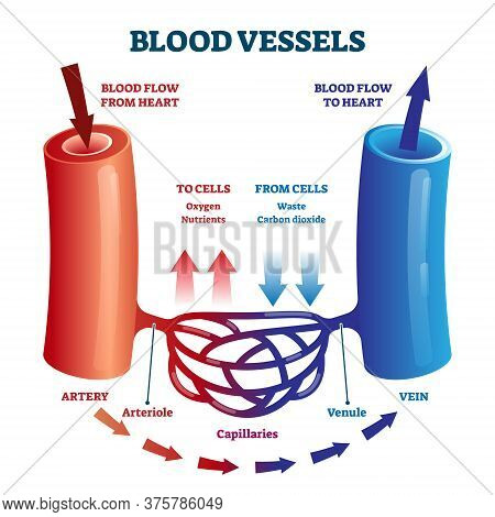 Blood Vessels Direction Scheme With Oxygen And Nutrients Flow From Heart And Waste Flow To Cells Vec