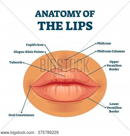 Anatomy Of Lips With Detailed Labeled Parts Description Vector Illustration. Educational Facial Mout