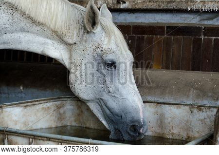 Girl Cleans The Hooves Of A Brown Horse Inside The Stable