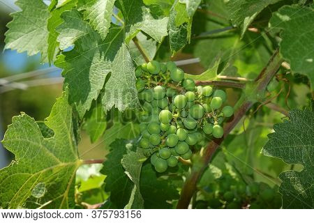 Young Green Unripe Grape Is Hanging On Vine With Green Leaves On Branch In Vineyard. Immature Green