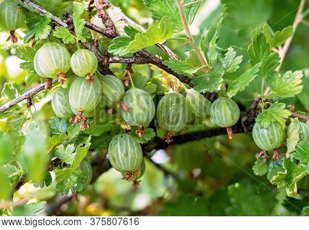 Gooseberry. Fresh And Ripe Organic Gooseberries Growing In The Garden. Ripe Fresh Green Gooseberries