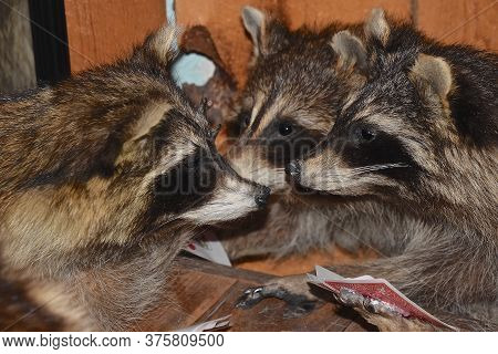 A Family(gaze) Of Raccoons Are Involved In The Playing Of Cards.