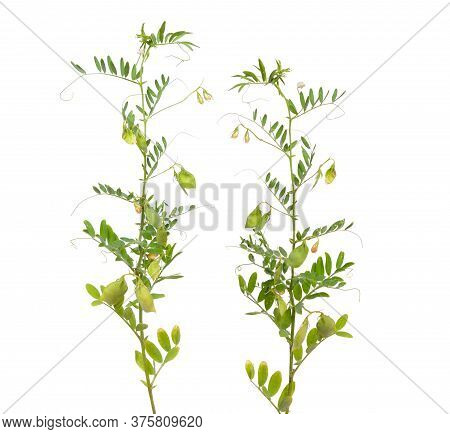 Lentil Plant Or Lens Culinaris Or Lens Esculenta. With Flowers And Pods Isolated.