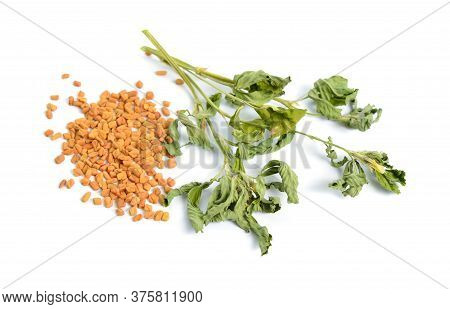 Fenugreek Or Trigonella Foenum-graecum. Green Ang Dried Plant With Seed. Isolated On White Backgroun