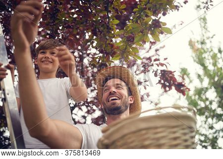 Family spending time together picking cherry.  Smiling boy and father  picking cherry on basket.