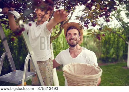 Family picking berries. Father and happy son together pick cherry.