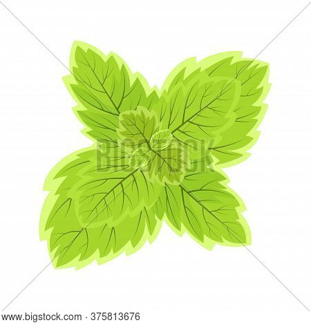 Mint Leaves Isolated On White Background, Vector Illustration, Cute Green Sprig