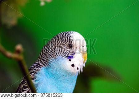 Budgerigar Or Common Parakeet, Ave-undulata, Or