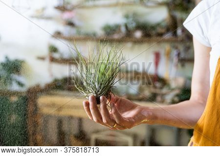 Close Up Of Woman Florist In Overalls, Holding In Her Wet Hand And Spraying Air Plant Tillandsia At