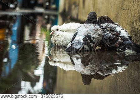 White Pigeon & Pigeon Gray Bathing On The Street Rain Water With Reflection On Clear Water . Columbi