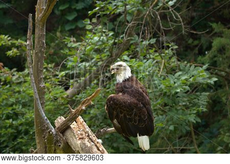 Bald Eagles Feed On Live Fish That They Snatch Out Of The Water Using Their Sharp Talons.