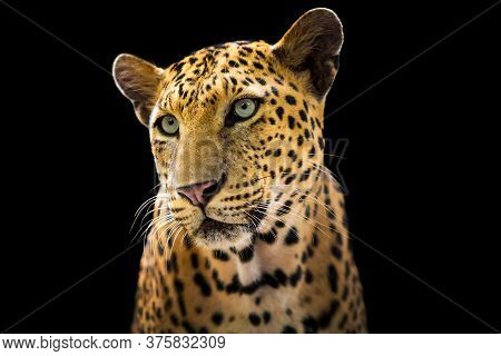 The Leopard Looks Beautiful On A Black Background.