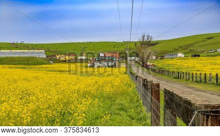 Blooming Yellow Rapeseed Fields In Spring With Blue Sky In Northern California