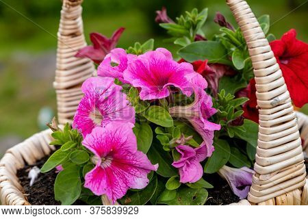 Beautiful Petunia Flowers On A Green Background.summer Garden.petunia In The Pot, Pink Color Petunia