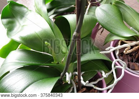Green Roots And Leaves Of Orchid In Purple Flowerpot. Spike Of Phalaenopsis Orchid. Green Leaves Of