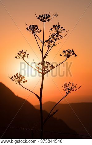 Wild Giant Fennel Plant (ferula Communis) Silhouetted Against The Evening Sun In The Mountains Of Co