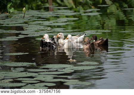 A Group Of Duck Is Swimming In The Black Water Of The Lake And A Wonderful Scene Has Been Created