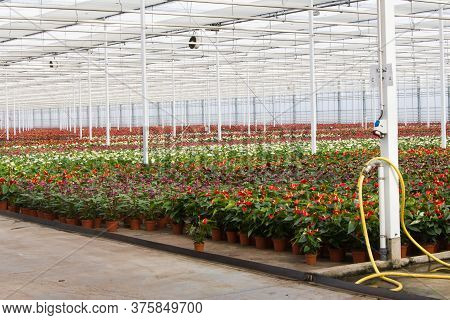 Dutch Greenhouse With Beattiful Red Anthurium Flowers