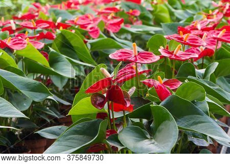 Red Anthurium Flowers Growing In A Ducth Greenhouse