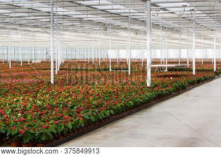 Colorful Anthurium Flowers Growing In A Ducth Greenhouse