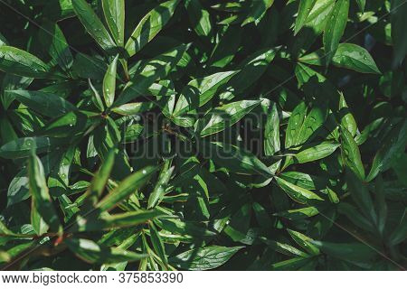 Green Natural Background Texture, Peony Leaves After Rain Hard Light, Shadow Closeup