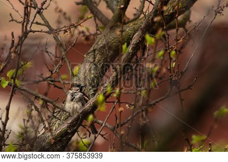 Sparrow Bird On A Tree Branch. Spring Weather. Young Leaves On A Branch. Blurred Background. Wild An