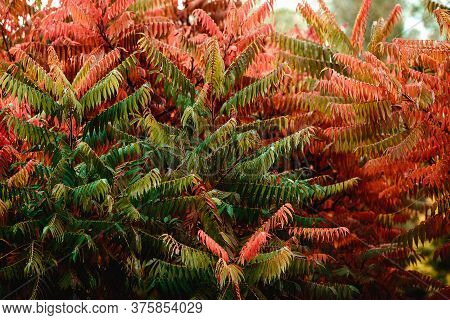 Sumac Staghorn Tree Branches Leaves Closeup Background, Horizontal