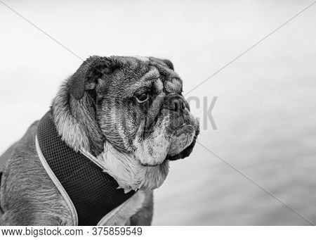 White And Black Closeup Of Portrait Of Red English Bulldog Out For A Walk