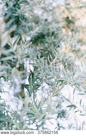 Close-up Of Blue Silver Olive Tree Leaves On The Branches, A Small Depth Of Field.