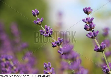 Close Up Of Beautiful Lilac Lavender In The Garden