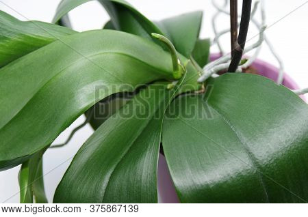 Green Roots And Leaves Of Orchid In Flowerpot On White Background. Green Spike Of Phalaenopsis Orchi