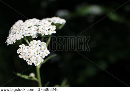 Common Yarrow Little White Flowers On A Green Blurred Floral Background With Copy Space. Close-up Of
