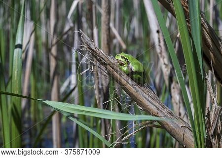 Green Tree Frog Tree Frog - Hyla Arborea Sitting Curled Up On A Stalk In A Reed By A Pond.